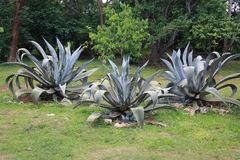 Grupo de arbustos do cacto no jardim decorativo do fundo da agave fotografia de stock royalty free