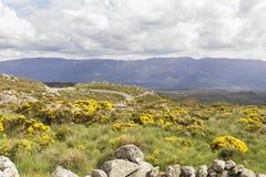 Grupo de arbustos florecientes del oromediterraneus del Cytisus con sus flores amarillas Imagen de archivo