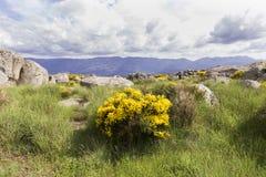 Grupo de arbustos florecientes del oromediterraneus del Cytisus con sus flores amarillas Imagen de archivo libre de regalías