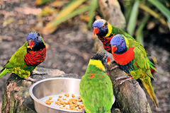 Grupo de arco-íris Lorikeet Imagem de Stock