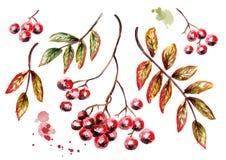 Grupo de Ashberry Ilustração da aguarela Fotos de Stock