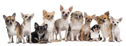 Grupo de assento das chihuahuas Imagem de Stock Royalty Free