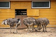 Grupo de avestruces en una granja en día soleado Imagen de archivo