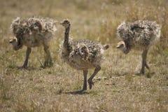 Grupo de avestruz do bebê Foto de Stock