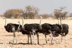 Grupo de avestruzes Fotografia de Stock Royalty Free