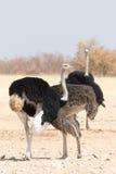 Grupo de avestruzes Imagens de Stock