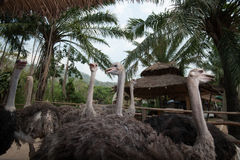 Grupo de avestruzes em uma exploração agrícola Imagens de Stock Royalty Free