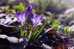 Grupo de azafr?n p?rpura de la primavera que crece a trav?s de enebro fotos de archivo