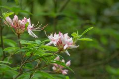 "Grupo de Azalea Flowers temprana en prinophyllum del rododendro de un †verde de Forest Background "" Imagenes de archivo"