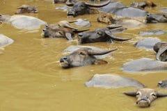 Grupo de búfalo de agua Fotografía de archivo libre de regalías