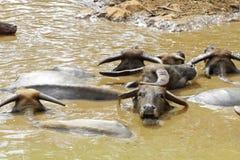 Grupo de búfalo de agua Imágenes de archivo libres de regalías