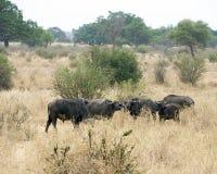 Grupo de búfalo del cabo Foto de archivo libre de regalías