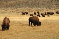 Grupo de búfalo en el parque nacional de Yellowstone Imagen de archivo libre de regalías