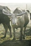 Grupo de búfalo no campo natural, Tailândia, foco seleto Foto de Stock Royalty Free