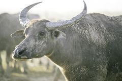 Grupo de búfalo no campo natural, Tailândia, foco seleto Fotografia de Stock Royalty Free