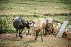 Grupo de búfalos de água na exploração agrícola tailandesa Imagens de Stock Royalty Free