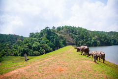 Grupo de búfalos cerca el lago enorme Foto de archivo libre de regalías