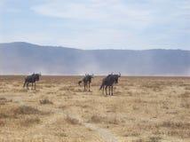 Grupo de búfalos em Tanzânia Imagens de Stock Royalty Free