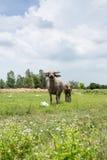 Grupo de búfalos no campo verde Imagens de Stock