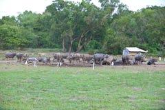 Grupo de búfalos tailandeses Fotografia de Stock Royalty Free