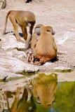 Grupo de babuínos Imagens de Stock