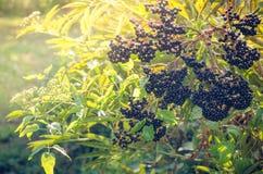 Grupo de bagas de sabugueiro pretas na luz solar Imagem de Stock