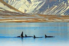 Grupo de baleia de assassino perto da costa da montanha de Islândia durante o inverno Orca no habitat da água, cena do Orcinus do foto de stock