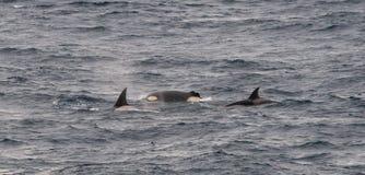 Grupo de baleias de assassino adultas que surgem, um com a aleta dorsal separada, canal do lebreiro, o Chile imagens de stock