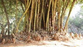 Grupo de bambú de oro imagenes de archivo