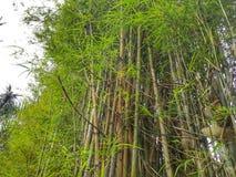 Grupo de bambu foto de stock