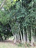 Grupo de bambus imagem de stock