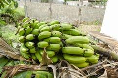 Grupo de bananas de Lakatan imagem de stock royalty free