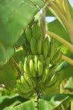 Grupo de bananas maduras na árvore Plantação agrícola na ilha da Espanha Bananas verdes no fim da selva acima Foto de Stock Royalty Free
