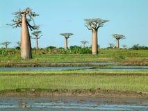 Grupo de baobabs - alguns ruído visível Foto de Stock Royalty Free