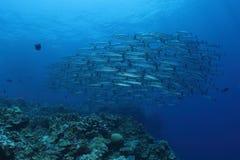Grupo de barracudas Fotografia de Stock