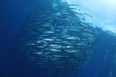 Grupo de barracudas Fotos de Stock Royalty Free