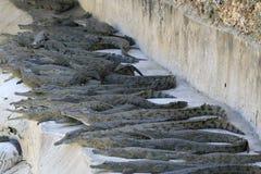 Grupo de bebês do crocodilo do Nilo, niloticus do Crocodylus, descansando sob o sol foto de stock