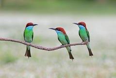 Grupo de Bee-eater Azul-throated Fotografía de archivo libre de regalías