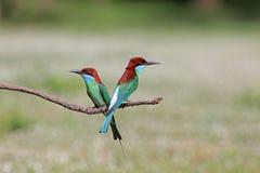 Grupo de Bee-eater Azul-throated Imágenes de archivo libres de regalías