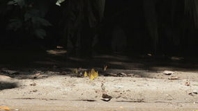 Grupo de borboletas amarelas filme