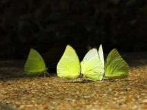 Grupo de borboletas amarelas imagens de stock