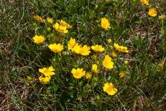 Grupo de botões de ouro amarelos (dentes-de-leão) na luz do sol Foto de Stock