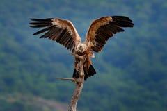 Grupo de buitres Griffon Vulture, fulvus de los Gyps, aves rapaces grandes que se sientan en la montaña rocosa, hábitat de la nat fotos de archivo