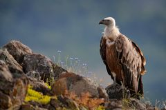 Grupo de buitres Griffon Vulture, fulvus de los Gyps, aves rapaces grandes que se sientan en la montaña rocosa, hábitat de la nat imagen de archivo libre de regalías
