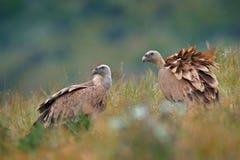 Grupo de buitres Griffon Vulture, fulvus de los Gyps, aves rapaces grandes que se sientan en la montaña rocosa, hábitat de la nat foto de archivo