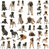 Grupo de bullmastiff imagem de stock