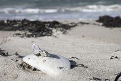 Grupo de cáscaras en la marea baja que tintinea en rugoso viejo, raído, Foto de archivo libre de regalías