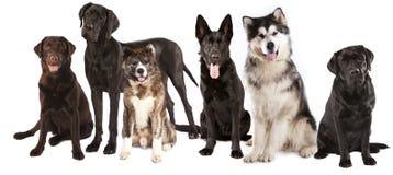 Grupo de cães Imagens de Stock Royalty Free