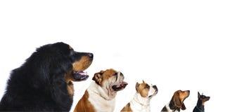 Grupo de cães Imagens de Stock