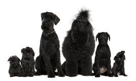 Grupo de cães, caniche, pug, griffon Bruxelense imagem de stock royalty free